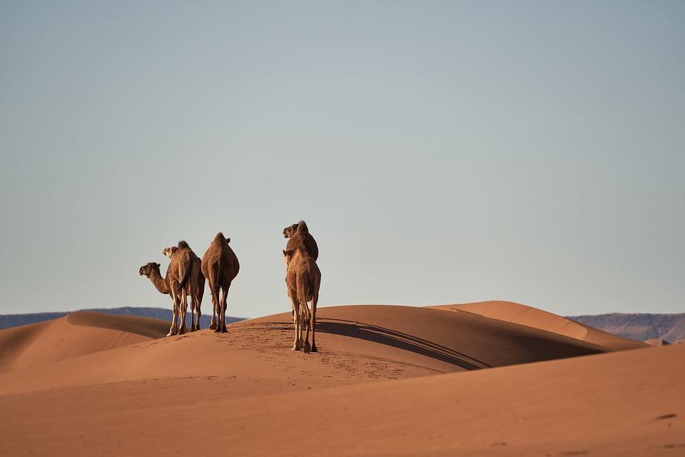 cammelli nel sahara